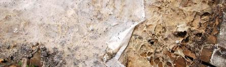 Mycel Echter Hausschwamm (Serpula lacrymans)